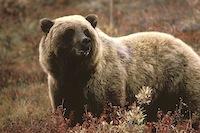 800px-Grizzlybear55.jpg